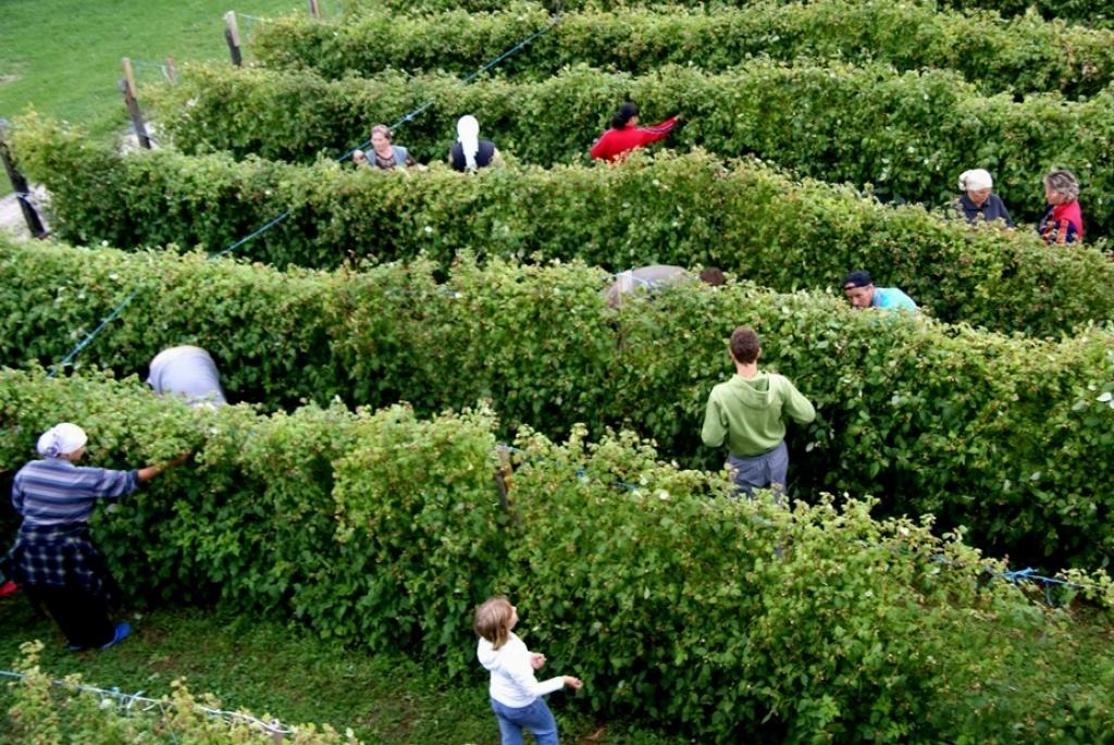 Firma Frozen Berries traži berače za berbu maline
